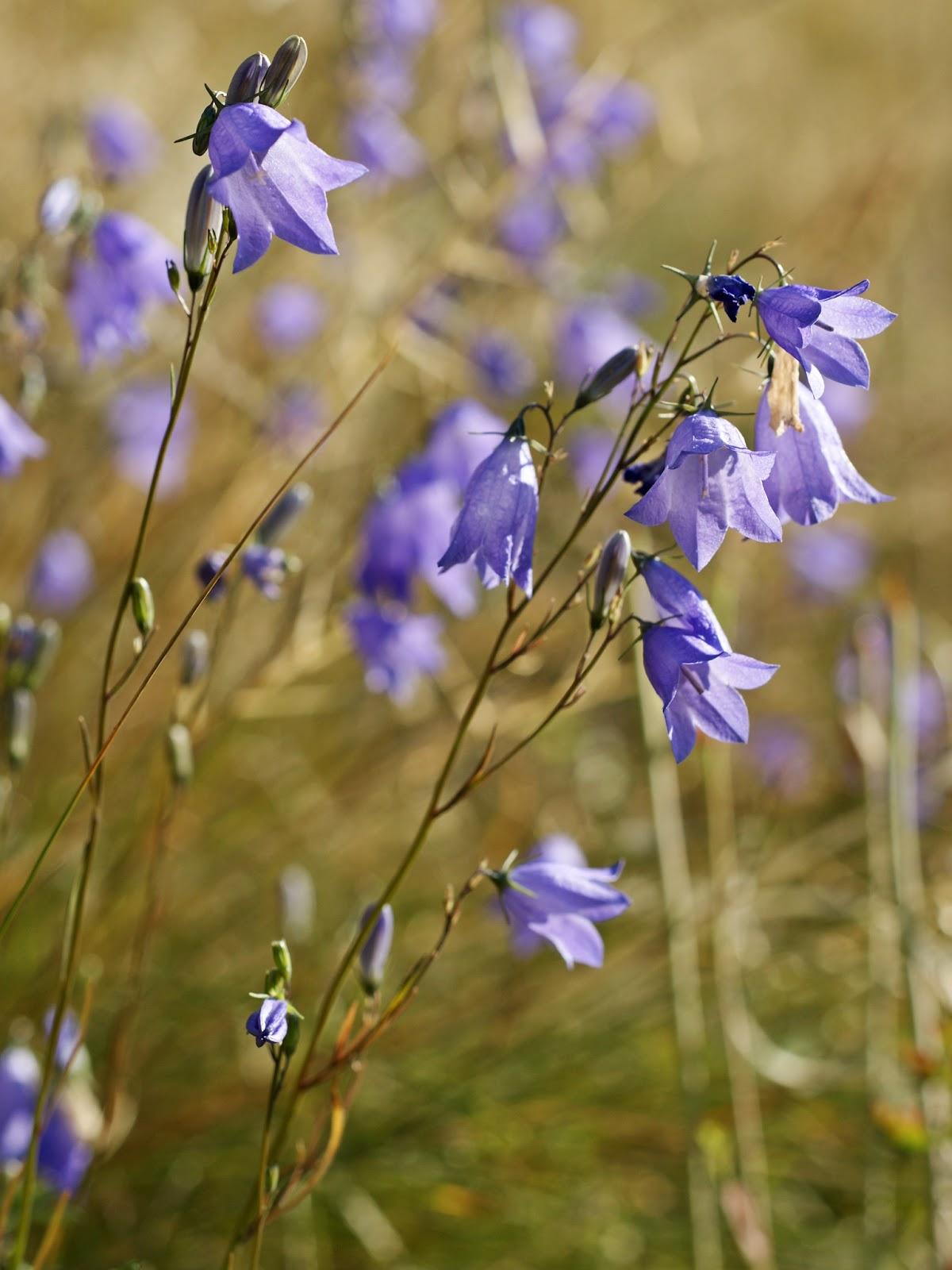 Vercorin les fleurs du tour du mont fleurs violettes - Campanule a feuilles rondes ...