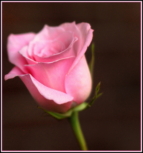 Wedding Flowers: Single Pink Roses - 133.2KB