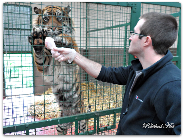 wildlife-heritage-foundation-sumatran-tiger-big-cat-encounter