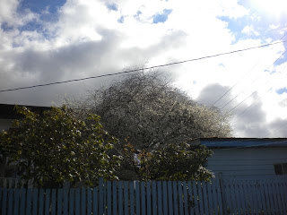 Single white cherry blossom tree in full bloom in someone's backyard, peeking over a white picket fence with background of white/grey clouds and blue sky and sunshine
