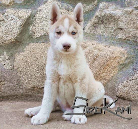 foto cachorro husky cronos del sirokami