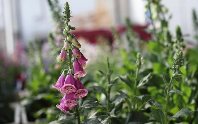 Foxglove Flowers Pictures