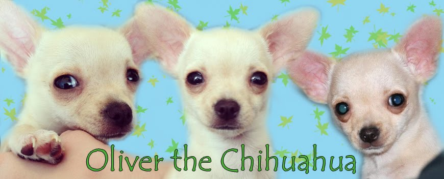 Oliver the Chihuahua