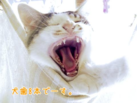 乳歯と永久歯の犬歯が八本ある子猫