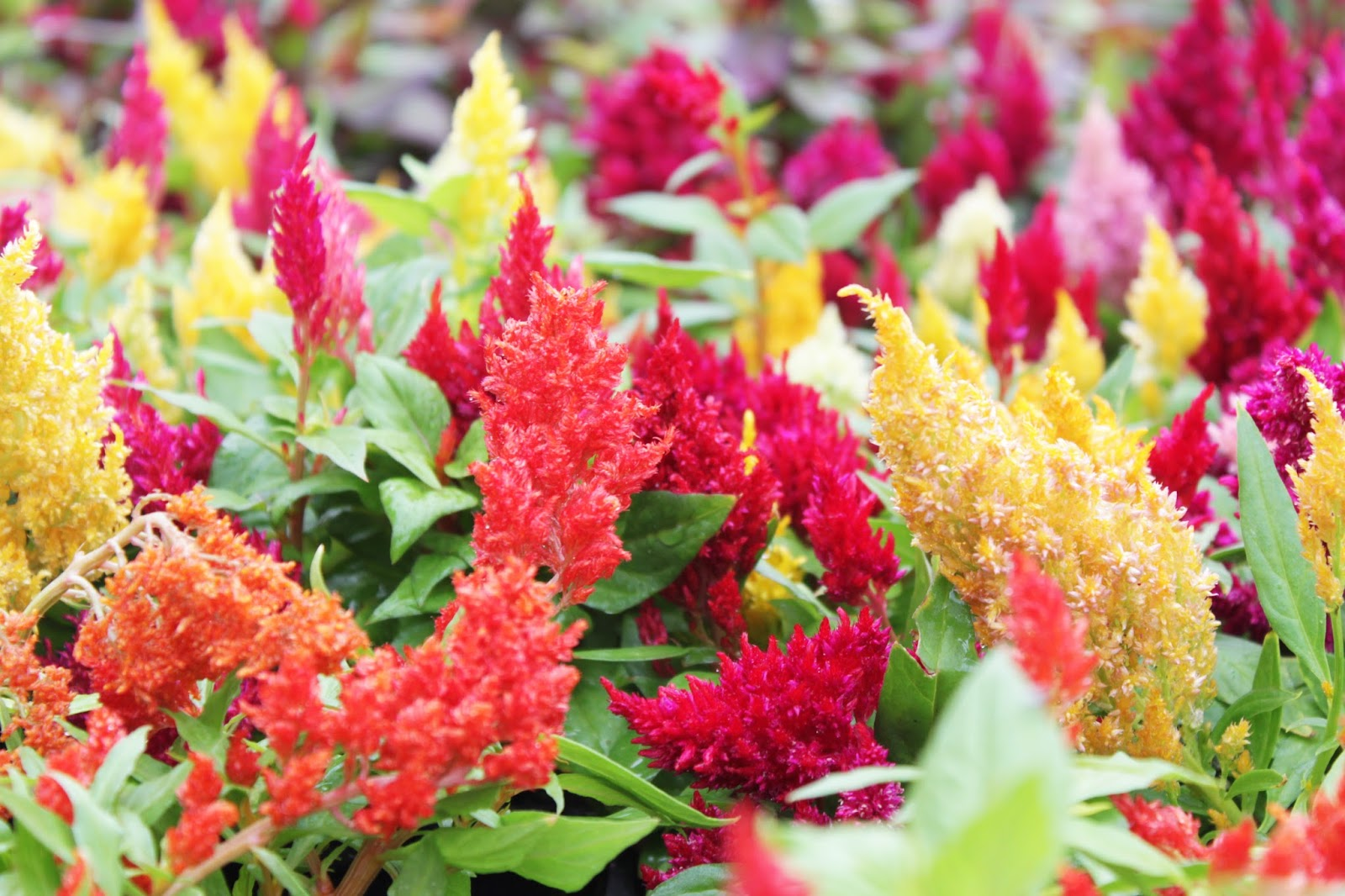 Tips on feeding your summer annuals stranges florists tips on feeding your summer annuals izmirmasajfo