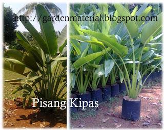 tanaman pisang kipas