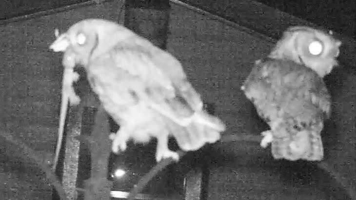 Screech Owl Catches Rare Tokay Gecko