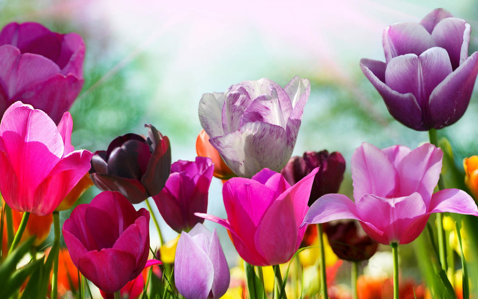 tulips in the spring - photo #9