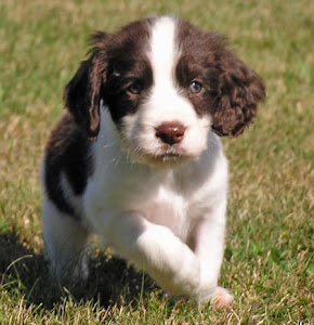 about dog english springer spaniel is your english