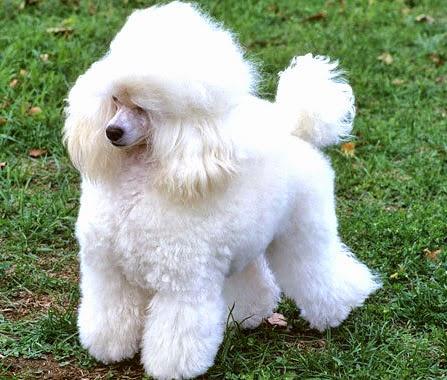 Informasi Bang Jali Cara Merawat Anjing Poodle