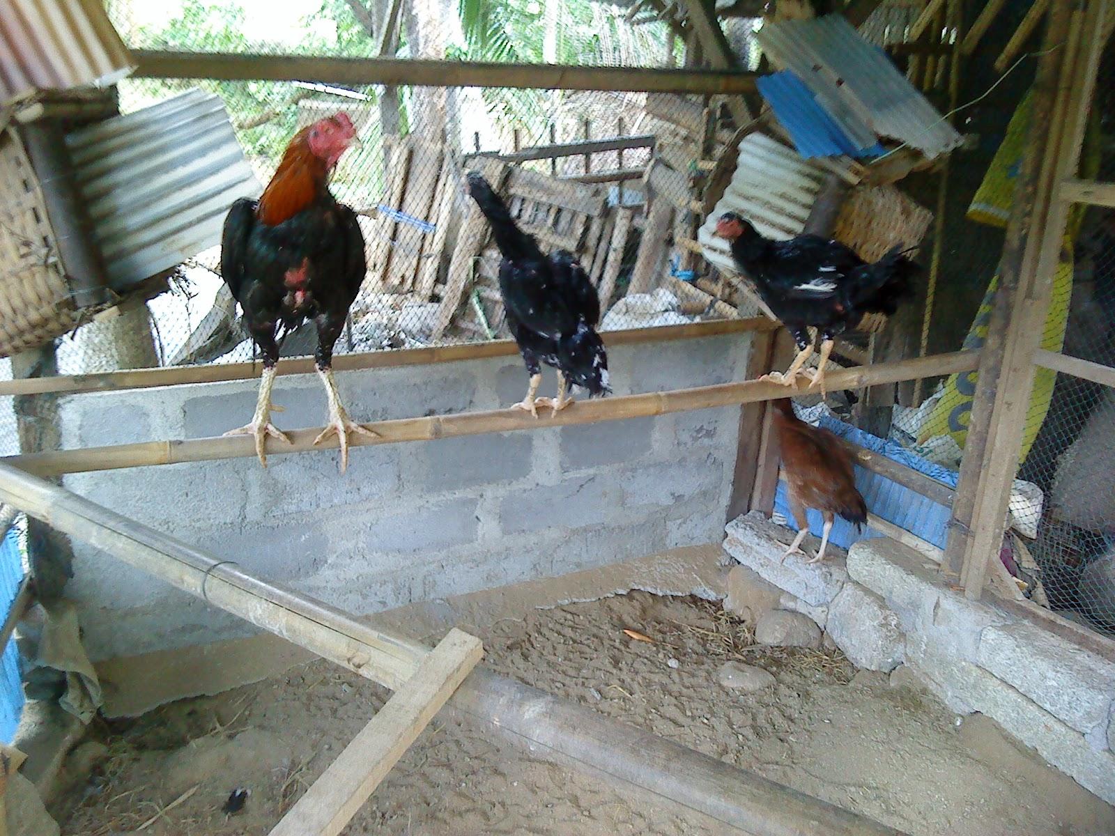 ... Ayam Bangkok http://genuardis.net/gambar/gambar-ayam-petarung.htm
