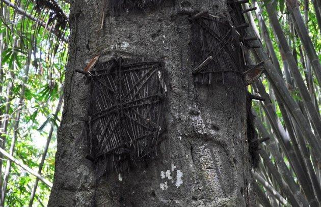 Bebês são sepultados em árvore na Indonésia