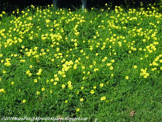 Common yellow oxalis - a pest