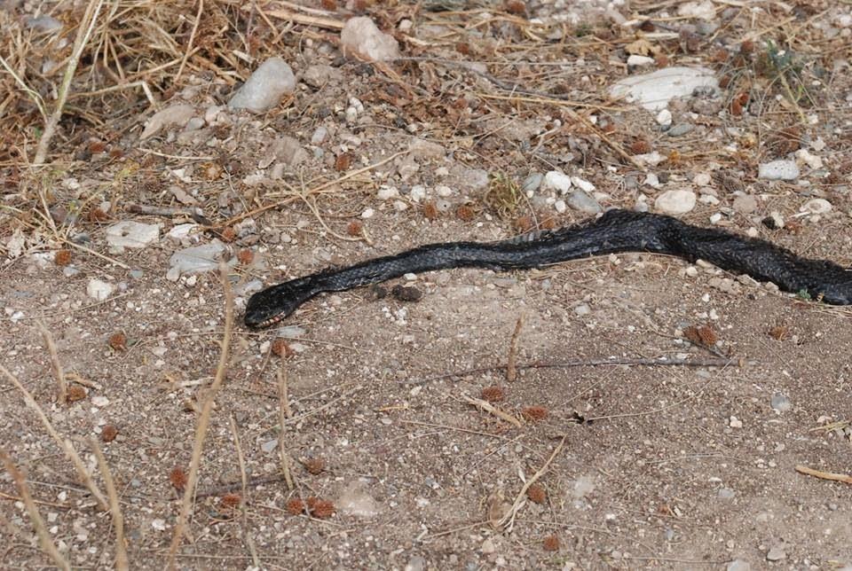 Cyprus snake