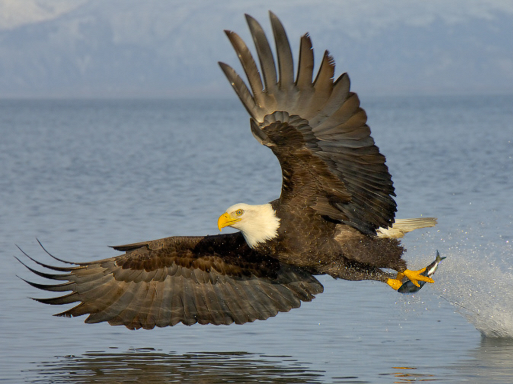 http://4.bp.blogspot.com/-dpWdHDU_LMg/UOMocnWYJEI/AAAAAAAAGhs/FERaQqy9ZdM/s1600/Bald-Eagle-HD_Wallpapers-2012+01.jpg