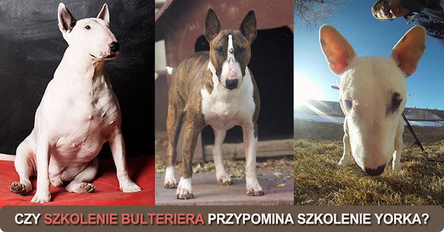 szkolenie psów bulterierów szkoła doberman