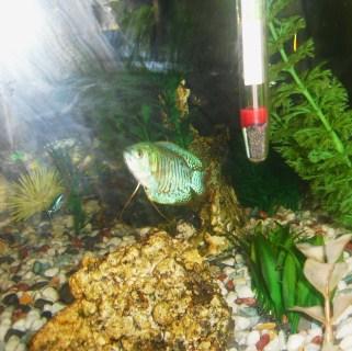 Los cuidados de tus peces colisa lalia for Cuidado de peces