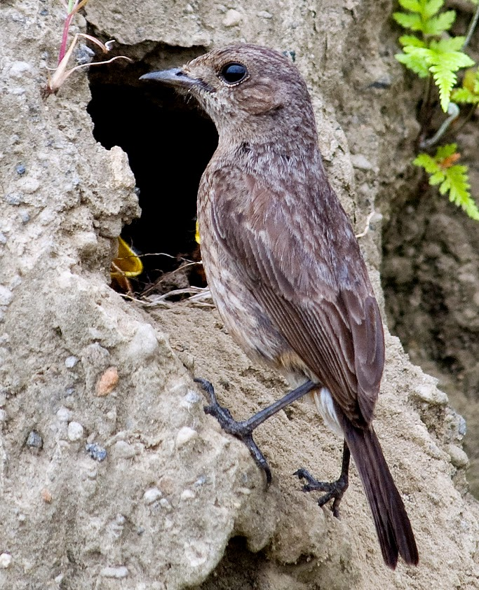 Foto Burung Decu Jantan