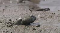 Blog Safari Club, video de el Boleophthalmus pectinirostris, un pez que vive fuera del agua