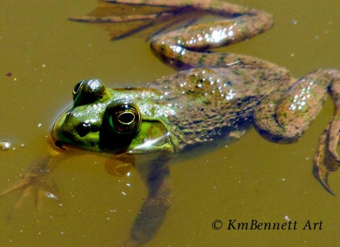 Frog 01 photo KmB