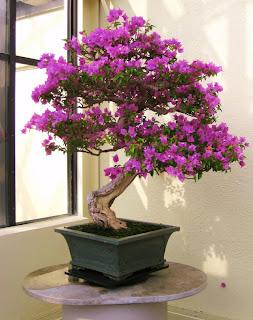 bonsai bougainville
