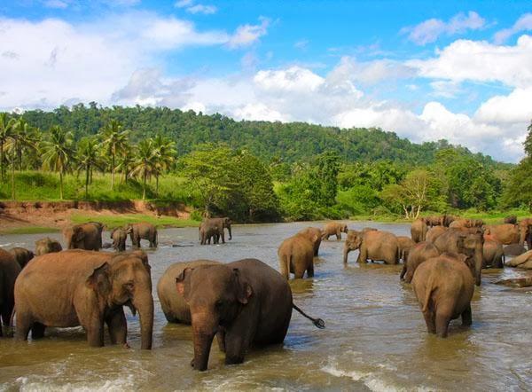 слоны на острове цейлон