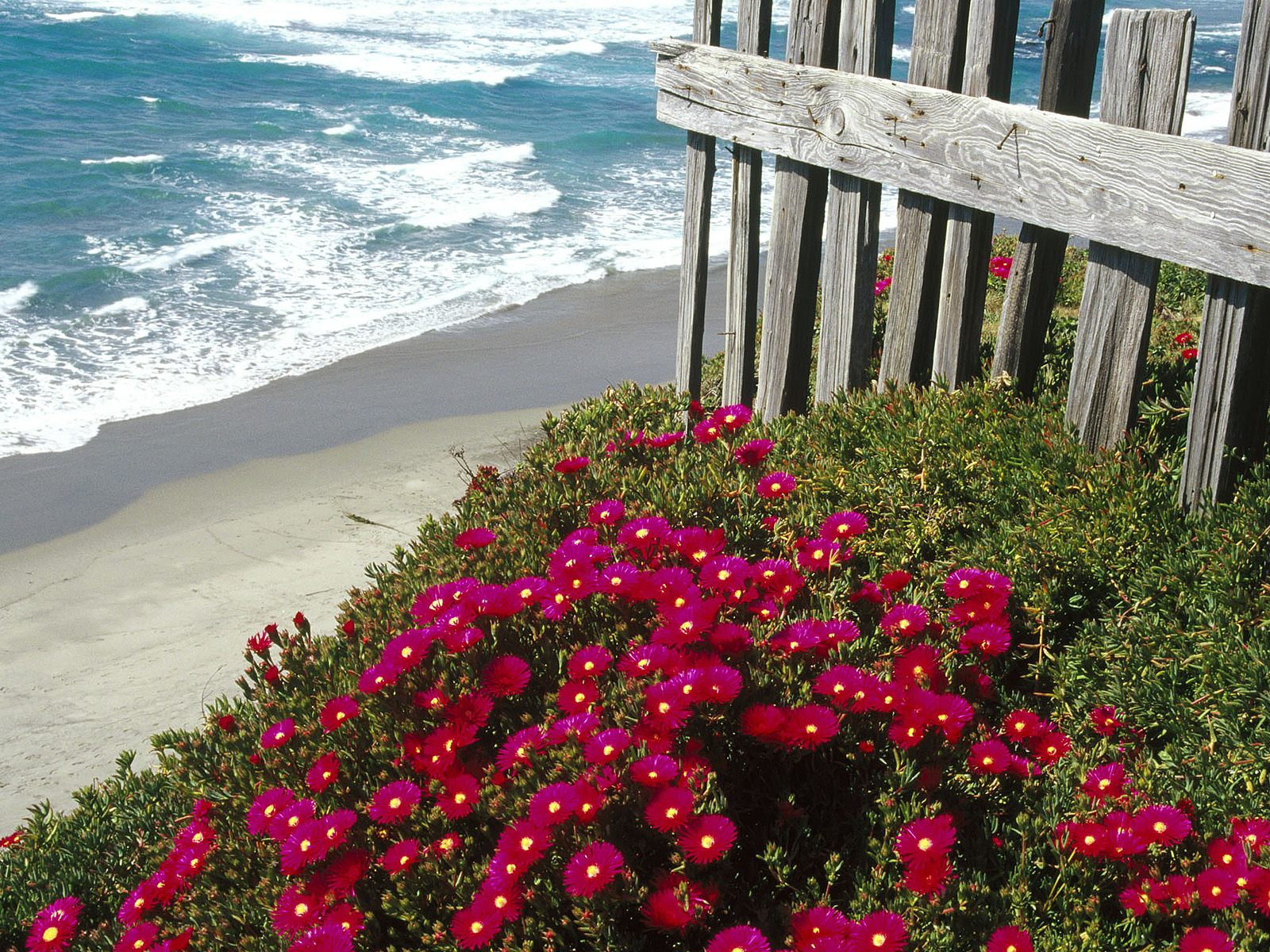 http://4.bp.blogspot.com/-dqFr0yO9CS0/TlS-dW3_Y0I/AAAAAAAABHc/HLKOo4YhAJY/s1600/Ice+Plant%252C+Central+Coast%252C+California.jpg