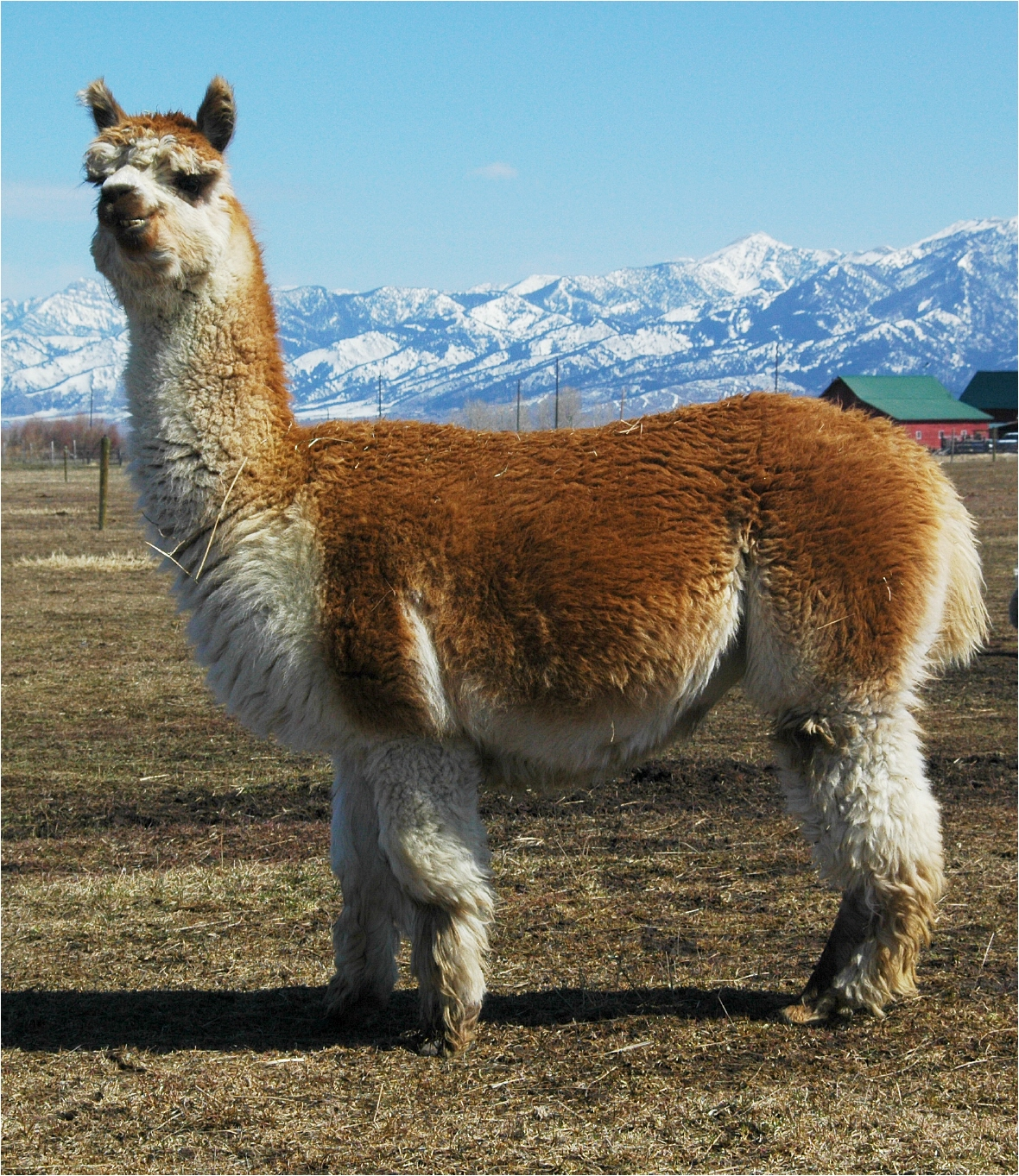 alpaca overview alpaca nutrition and pregnancy