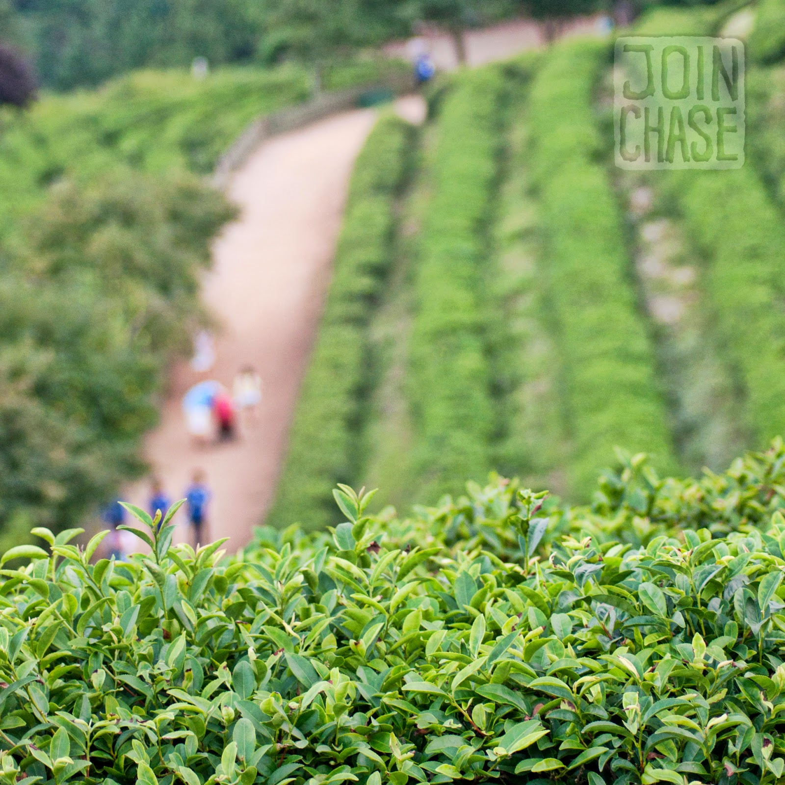 Walking around Daehan Green Tea Plantation in Boseong, South Korea.