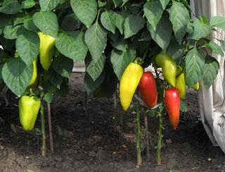 2.08. Поспевают первые сладкие перцы. Часть перцев посажены по два корня в лунке. Пока существенной разницы в урожае не заметно.