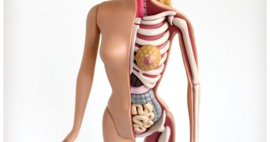 LA CIENCIA DE LA VIDA: Anatomía interna de una Barbie