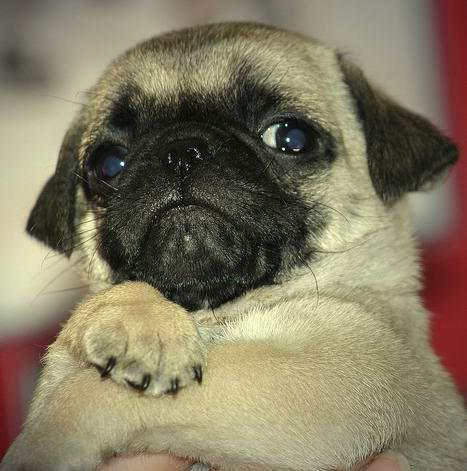 Cute little baby pug dog image