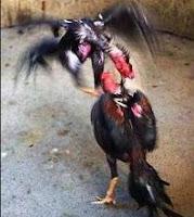 sabung ayam adu ayam di dunia