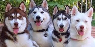 Syarat Memelihara Siberian Husky