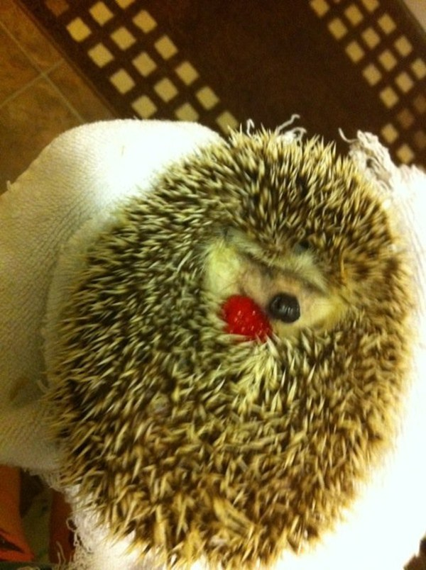 hedgehog napping, funny animal pictures, animal photos, funny animals