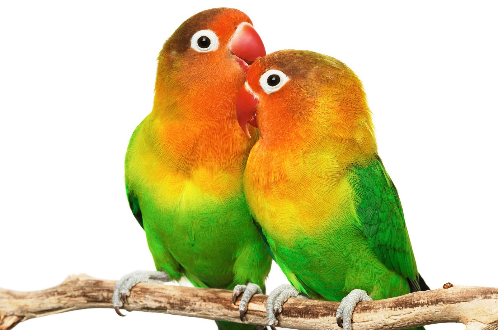 Pair Love Bird Wallpaper