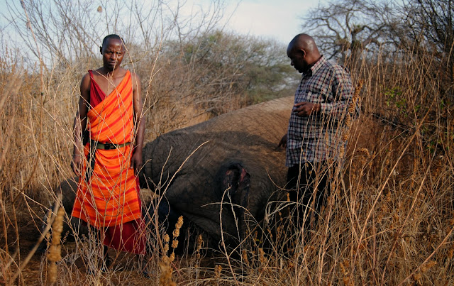 Bull elephant killed by poachers in Tanzania, 2013