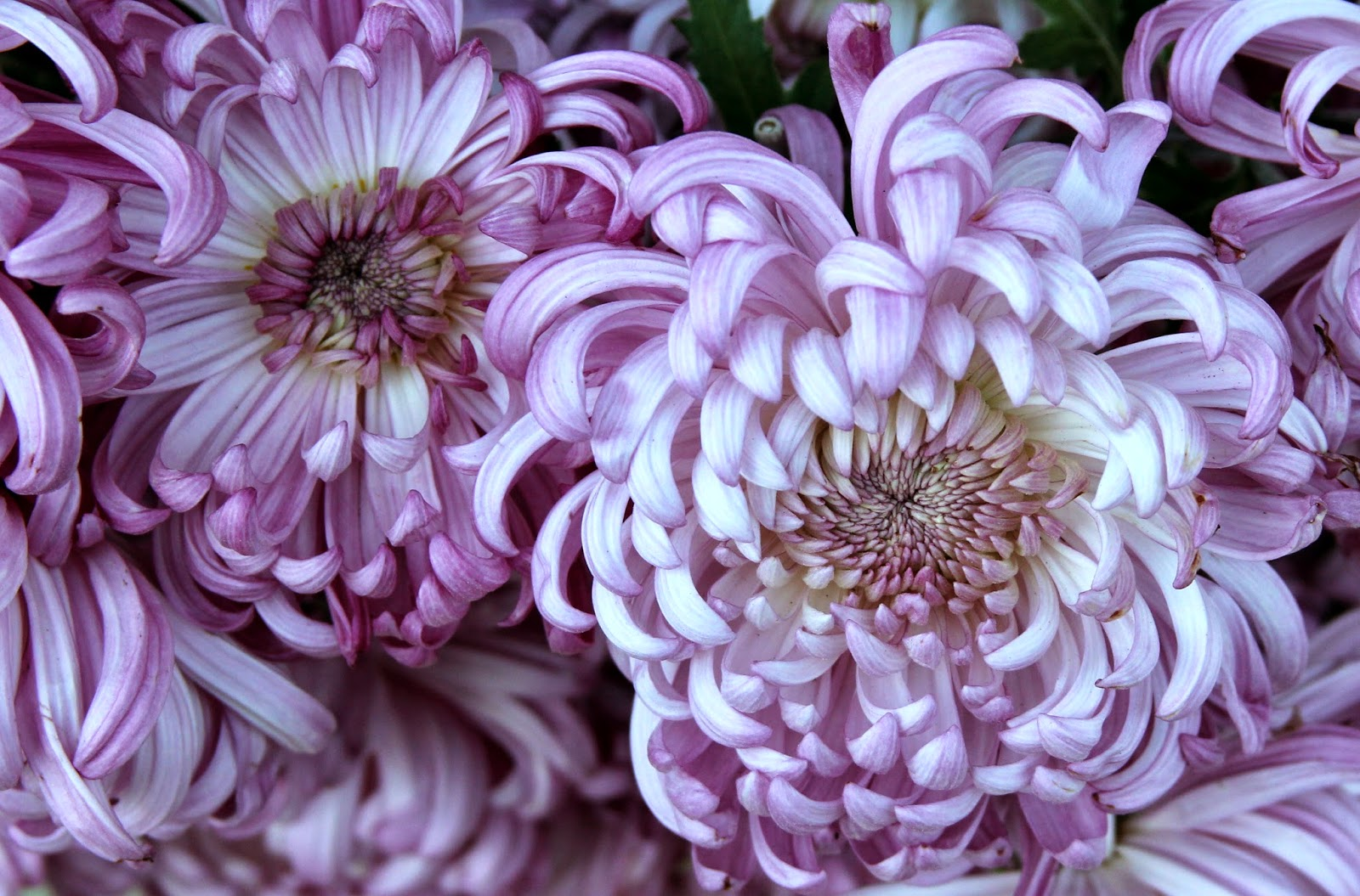 Chrysanthemums long lasting in the vase for fall arrangements it is a strong upright grower and produces many flowers arrange when centers are still in tight bud they will completely unfold producing a huge floret reviewsmspy