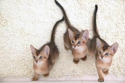 Karakteristik Kucing Abyssinian
