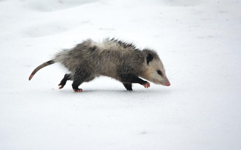 Possum walking in the snow