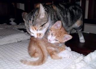 gata lambendo filhote gatinho lindos amor de mãe agarradinho