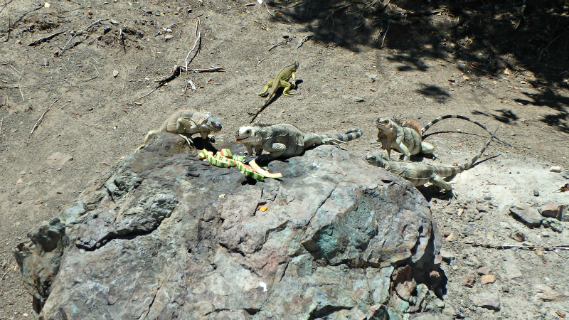 Iguanas eating leftover food on Petit Bateau in the Tobago Cays Marine Park in The Grenadines