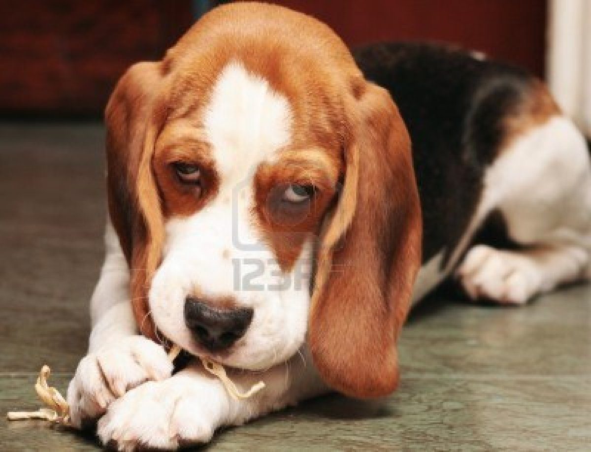 Cute puppy dogs cute beagle puppies cute beagle puppies voltagebd Image collections
