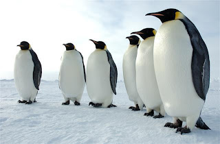 Penguins huddle together to keep themselves warm.