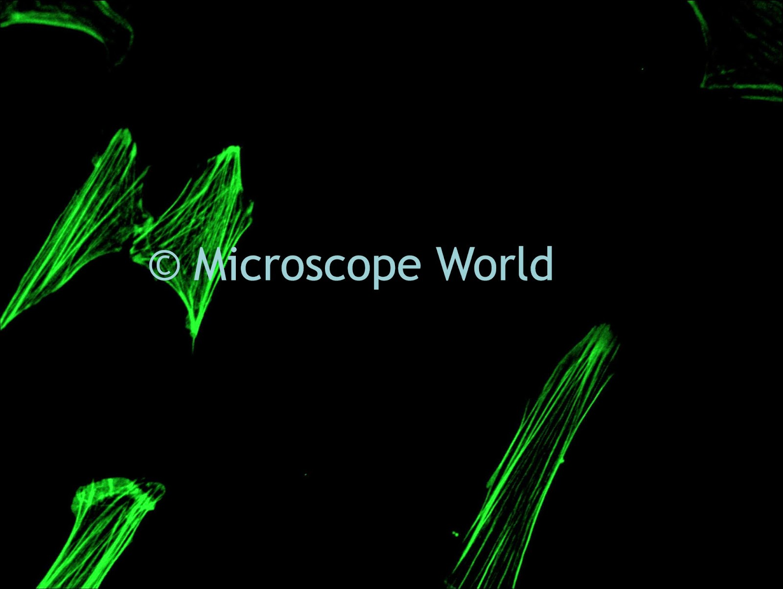 mouse embryo under fluorescence microscope