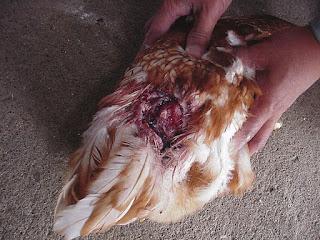 Faktor penyebab kanibalisme pada ayam dan cara penanganannya