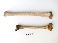 Le tibia géant posé à côté de celui d'un romain de taille normale à la même époque.
