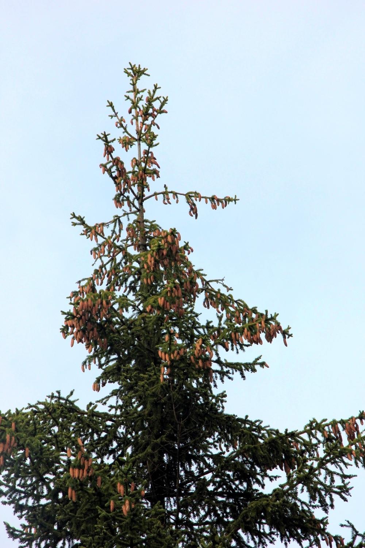 Верхушка ёлки с множеством шишек