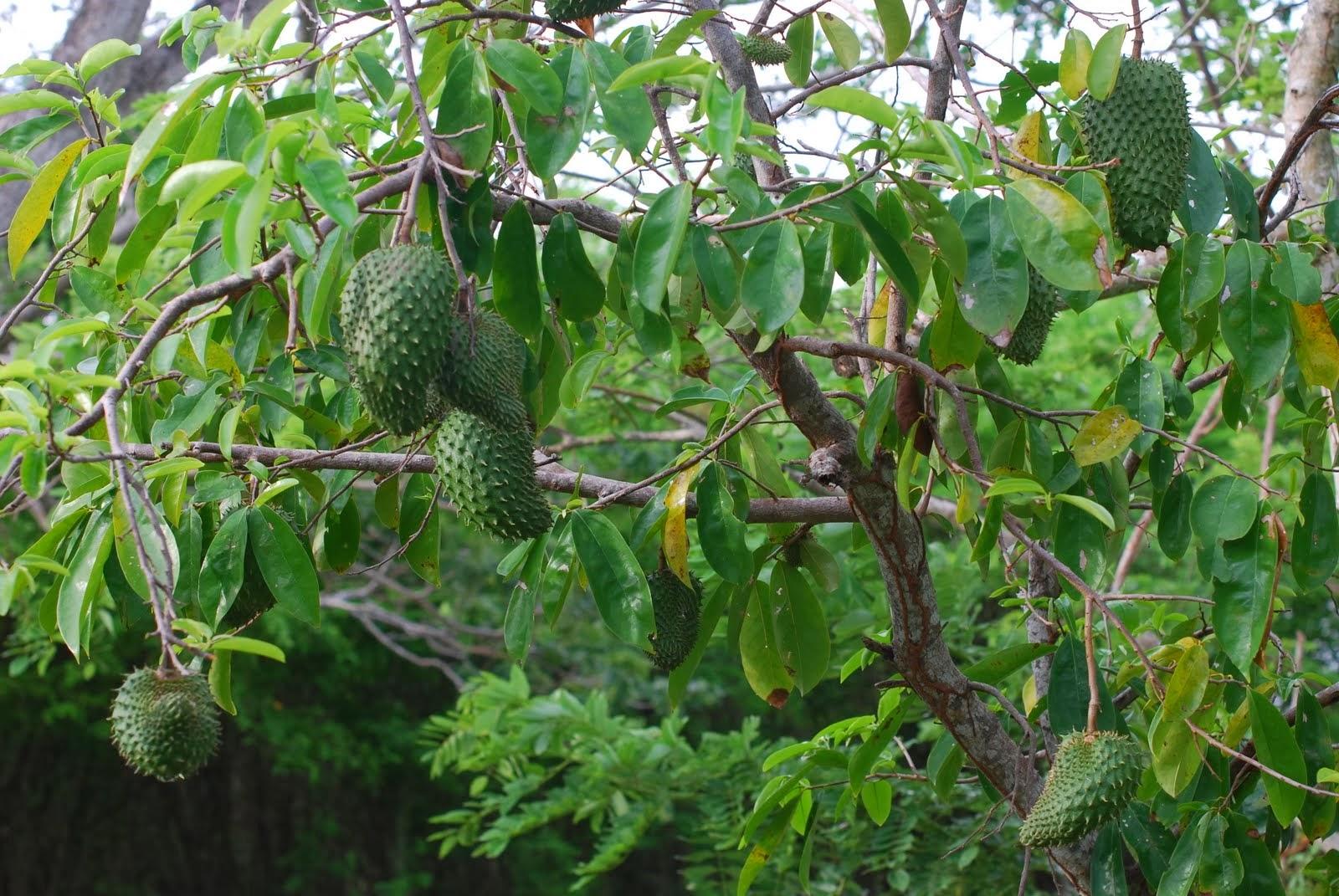 PHARMA HEALTH: NATURAL CANCER TREATMENT; Mullatha, [Annona ... Soursop Tree In Kerala