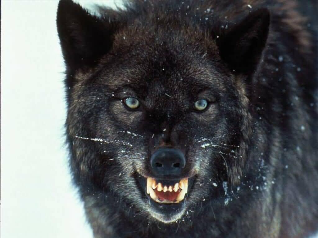 Amaya - die Wasserwölfin, Crow - der Starke und Noriko - die Lustige Angry%2Bwolf